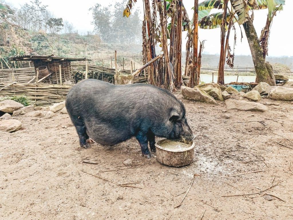 Hangbuikzwijn bij de homestay in Hau Thao.
