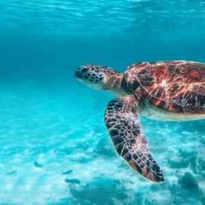 Schildpad Filipijnen Apo Island