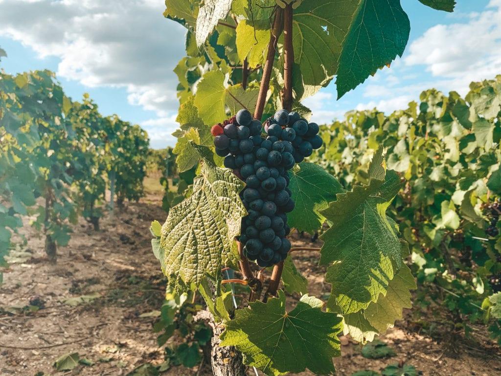 Wijngaarden Frankrijk Champagnestreek.