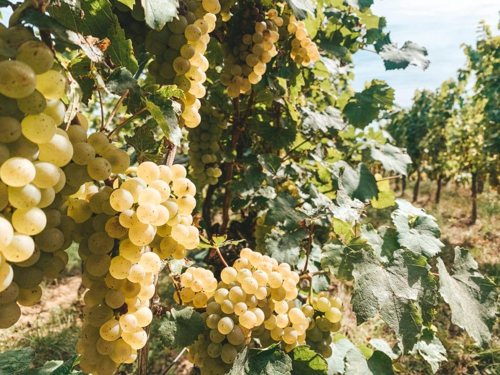 Fietsen wijnroute Colmar